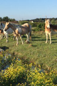 Balade-a-pied-randonnee-vendee-sentier-du-grand-marais-chevaux