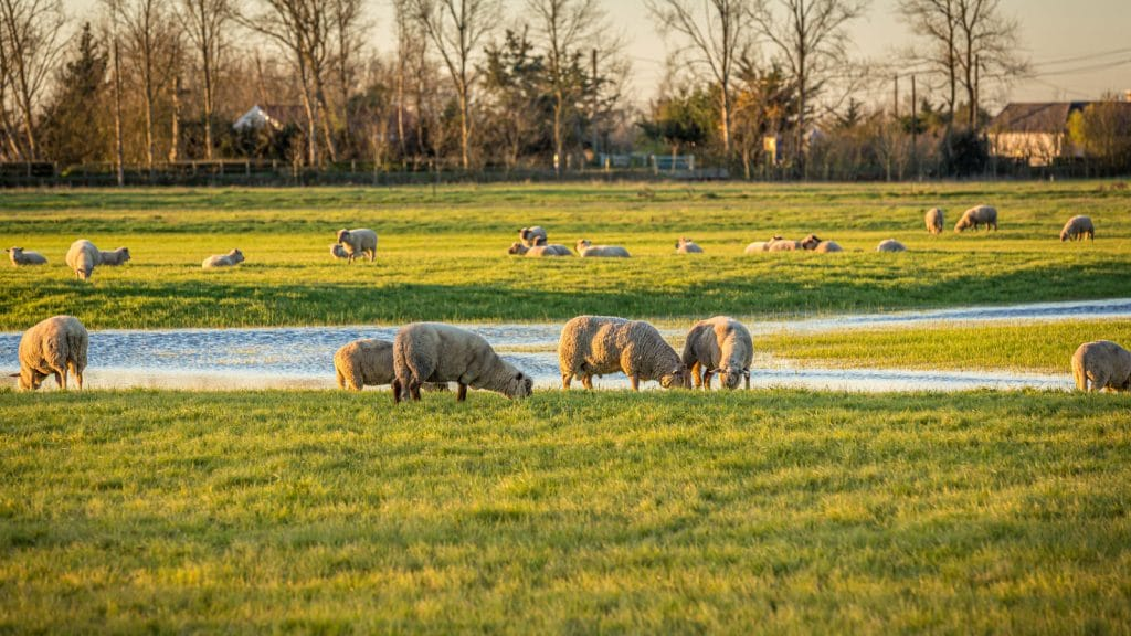 Balade-a-pied-randonnee-vendee-sentier-du-grand-marais-Moutons